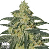 Afghan Hash Plant Regular Seeds - ELITE STRAIN