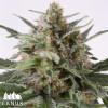 Critical Mass Autoflowering Feminized Seeds (Canuk Seeds)