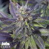 Blue Widow Feminized Seeds - ELITE STRAIN