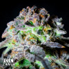 Canuk Cookies AUTO FEMINIZED Seeds