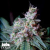 Cream Auto Feminized Seeds