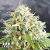 Grapefruit Auto Feminized Seeds
