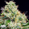 Killer Cheese Dawg Fast Feminized Seeds