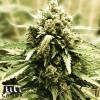LSD Feminized Seeds - ELITE STRAIN