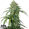 Pure CBD Auto Feminized Seeds