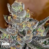 Tropicanna Glookies Feminized Seeds