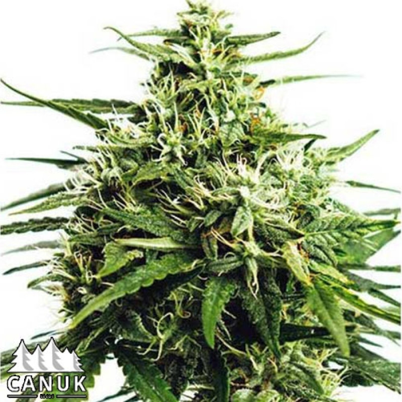 GG#4 Auto Feminized Seeds