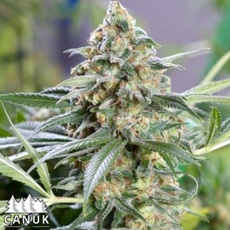Kryptonite Kush Fast Feminized Seeds