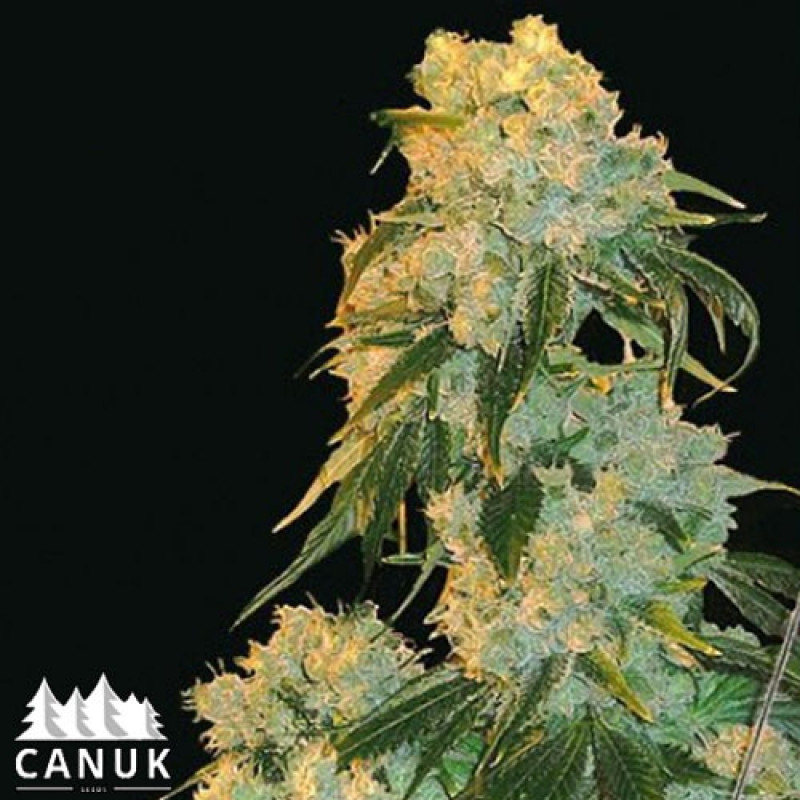 Northern Lights Feminized Seeds
