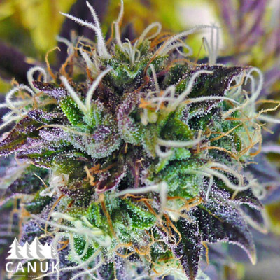 Purple Kush Auto Feminized Seeds (Canuk Seeds)