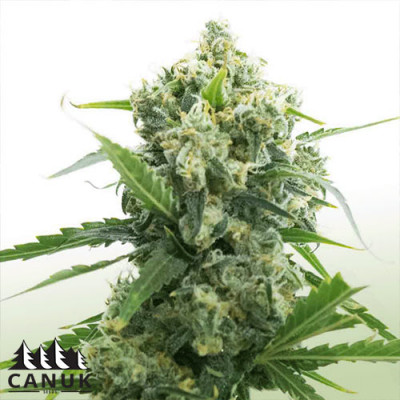 Banana Kush Auto Feminized Seeds