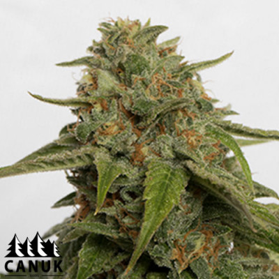 Citrus Skunk Feminized Seeds - ELITE STRAIN