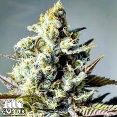 Critical Killer Fast Feminized Seeds