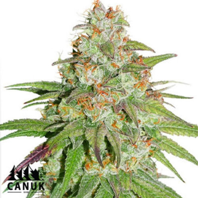 Glueberry OG Feminized Seeds - ELITE STRAIN