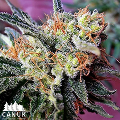 Kushy Kush Feminized Seeds