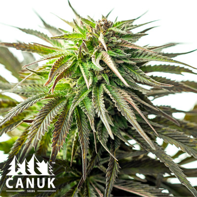 Original Skunk #1 Feminized Seeds