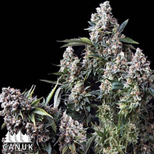 King TUT Feminized Seeds - ELITE STRAIN   Canuk Seeds