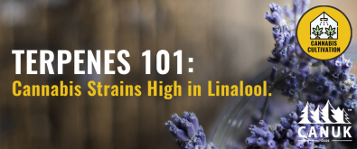 Terpenes 101: The Best Cannabis Strains High in Linalool