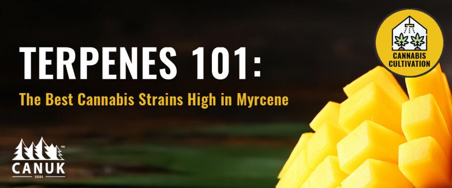 Terpenes 101: The Best Cannabis Strains High in Myrcene