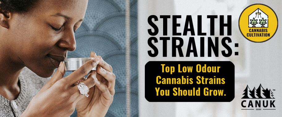 Stealth Strains: Top Low Odour Cannabis Strains You Should Grow