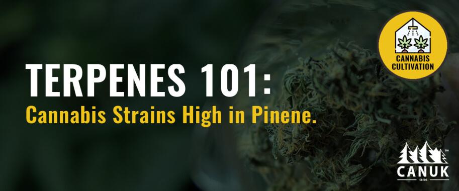 Terpenes 101: Cannabis Strains High in Pinene