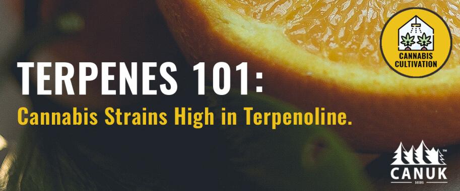 Terpenes 101: Cannabis Strains High in Terpenoline